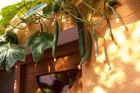 El pepino como verdura