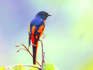 Male Scarlet Minivert - Coorg , Birdwatching at Resort in Coorg