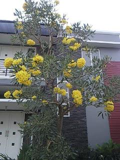 Tukang taman menjual pohon tabibuya bunga kuning harga paling murah