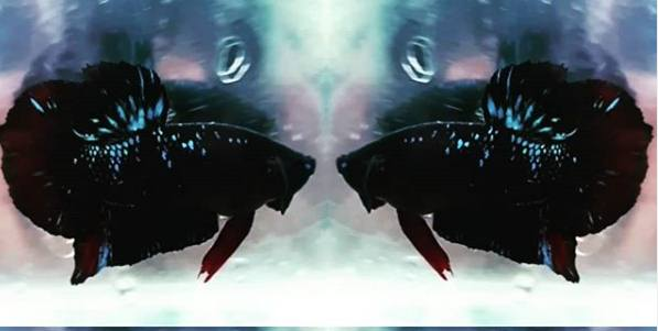 Ciri Cupang Avatar & Harga Ikan Cupang Avatar