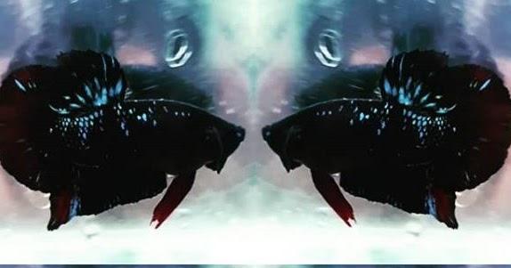 Ciri Cupang Avatar Harga Ikan Cupang Avatar