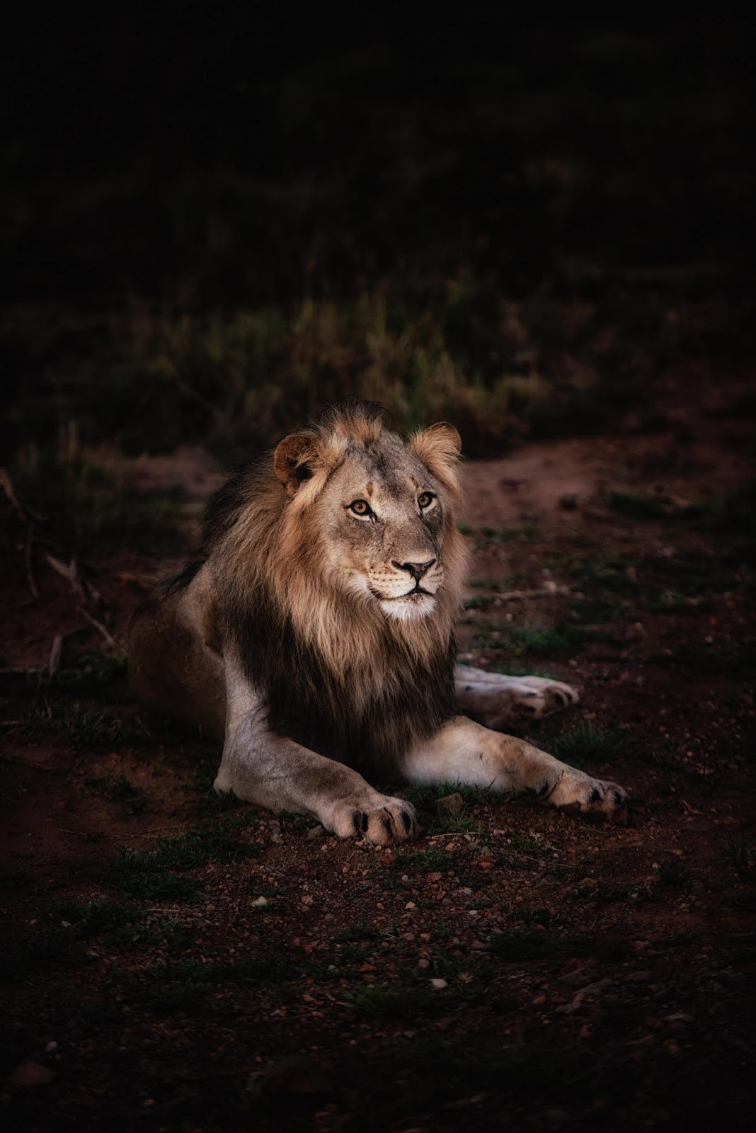 Male Lion sitting in calm position images