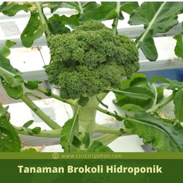 Ciri Ciri Pohon Brokoli Hidroponik