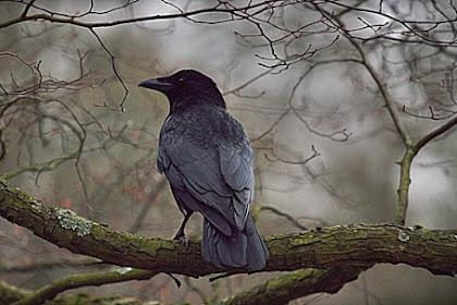 Pertanda Suara Burung Gagak di Atap Rumah Pada Malam Hari
