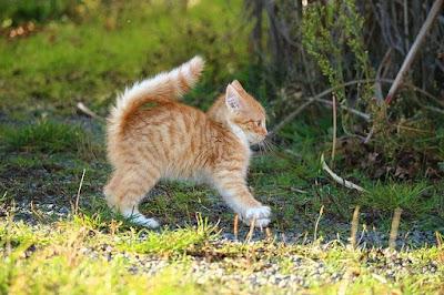 Gambar kucing Anggora x Kampung