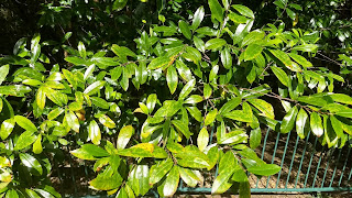 Prunus caroliniana (carolina laurel cherry) tree leaves new orleans louisiana fruit