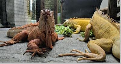 Iguana bertelur dan beranak (Ovovivipar) - berbagaireviews.com