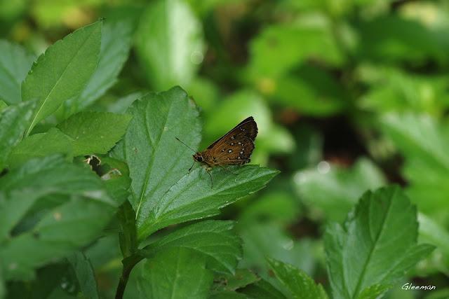 雞南山散步,白斑弄蝶