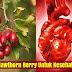 Manfaat Hawthorn Berry Untuk Kesehatan Jantung Secara Menyeluruh