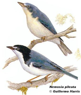 Frutero cabeza negra Nemosia pileata
