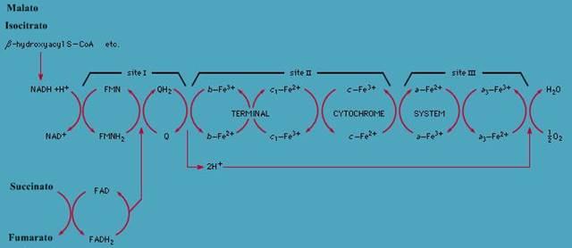 NAD hidrogenado: cadena de transporte de electrones de mitocondria