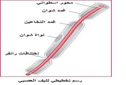 رسم تخطيطي لليف العصبي