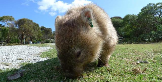 Los wombats son animales herbívoros