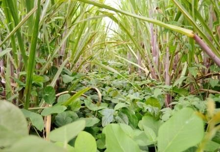 Astuce : Réduire les mauvaises herbes et Augmenter les Rendements de la Canne à Sucre