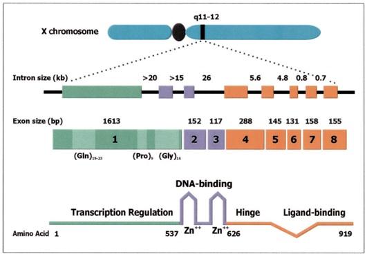 Reseptor Androgen Dan Perannya dalam Reproduksi Pria