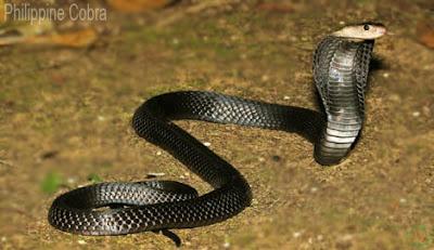 Philippine cobra snake