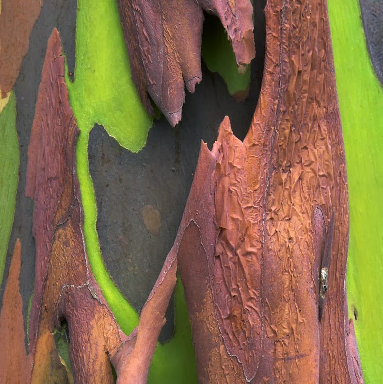 Rainbow Eucalyptus – The Most Colorful Tree on Earth