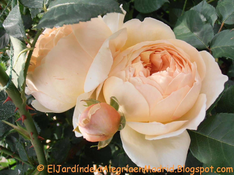 El jard n de la alegr a rosa 39 jude the obscure 39 tan solo for Jardin rosa alcoy