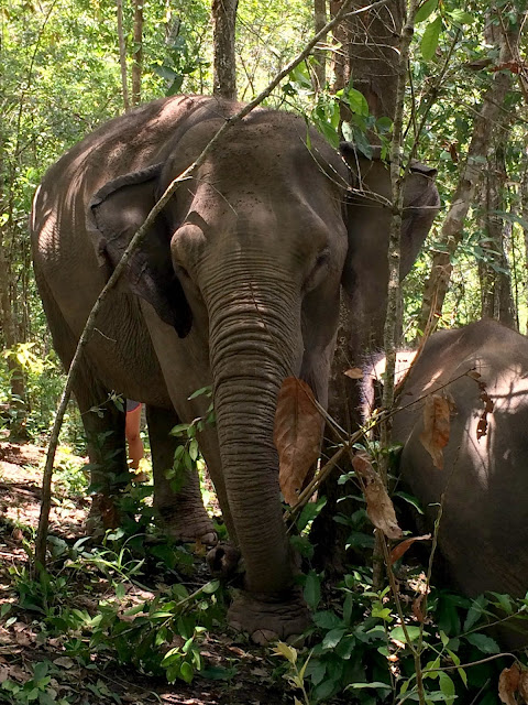 elefant, elephant, thailand, mahut, dschungel, jungle, hug elephants sanctuara, nationalpark, chiang mai, urlaub, holiday, nature, wildlife, wildtier, natur