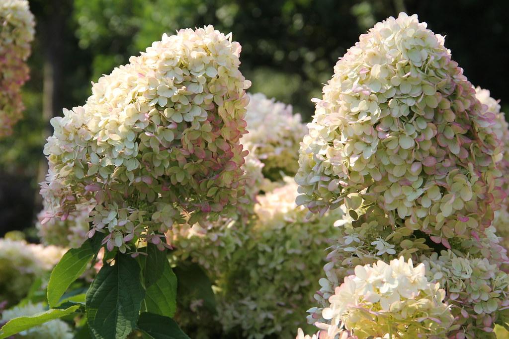 Hydrangea Paniculata Algunos Datos Sobre El Origen Cultivo Y