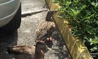 Hawaiian ducks-mallards, Hamakua Marsh parking lot, Kailua, Oahu - © Denise Motard