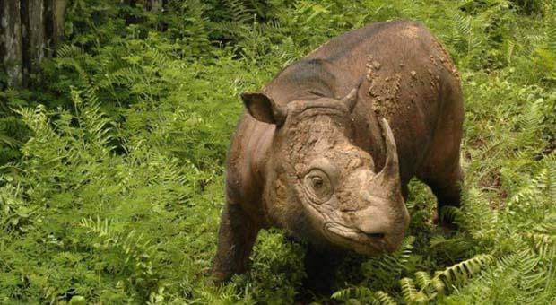 Badak Sumatera Jantan Terakhir di Malaysia Mati