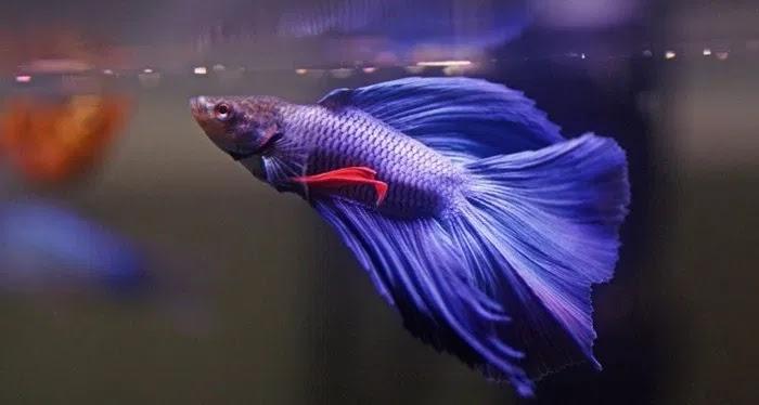 Tips Merawat Ikan Cupang