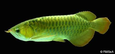 Peyang Malaya, Tangkalasa (Scleropages formasus)