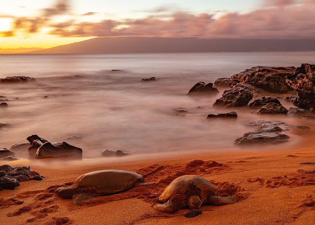 Sea Turtle on Maui Beach