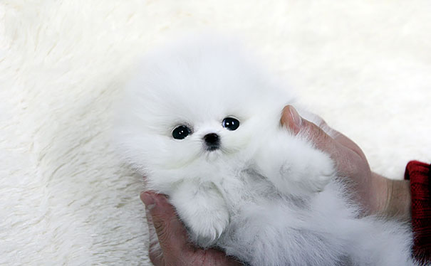 Teacup Pomerian