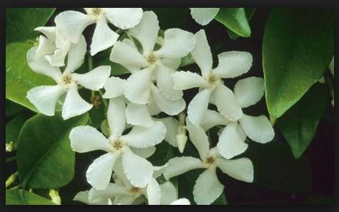 Teks Laporan Hasil Observasi Tentang Bunga Melati Berbagai Teks Penting