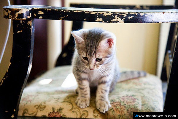 7d2eb80be70e2 صور قطط كيوت 2016 خلفيات قطط جميلة جدا - مصراوى الشامل