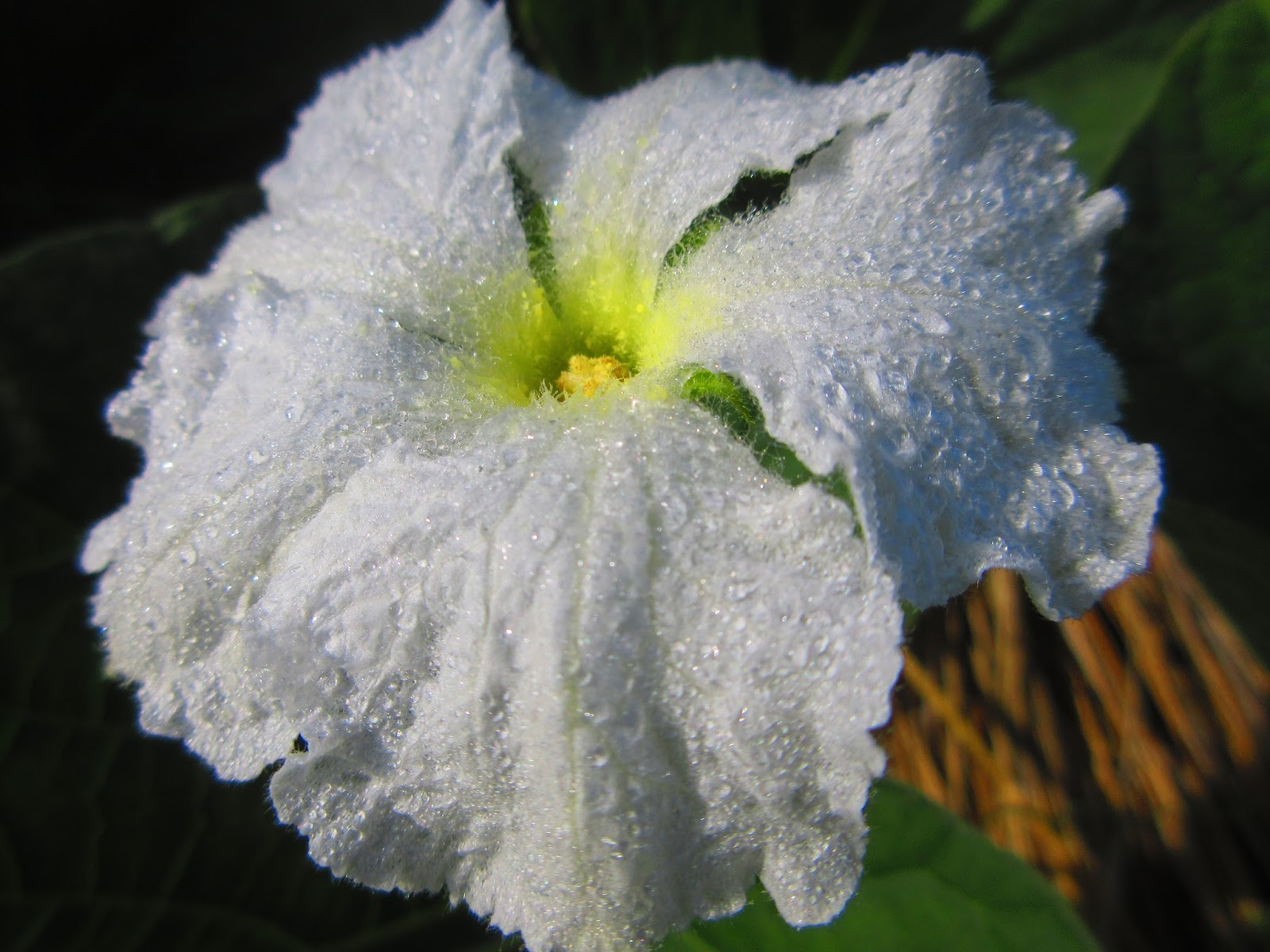 房総のむら: ユウガオの花