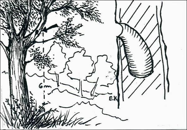 nido de Surucua amarillo Trogon rufus