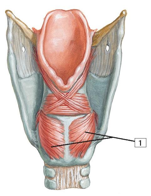 1. Posterior crico-arytenoid muscle
