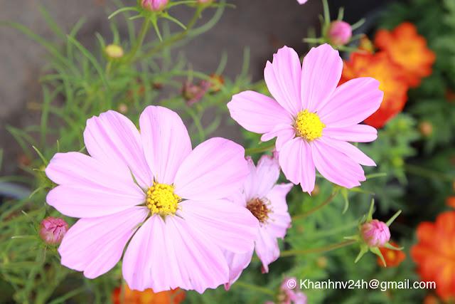Purple clones / Hoa nhái tím