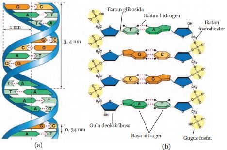 Struktur Molekul DNA