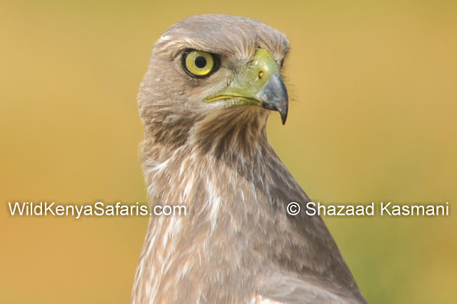 nictitating membrane, birds of prey kenya, raptors of kenya, wildlife diaries