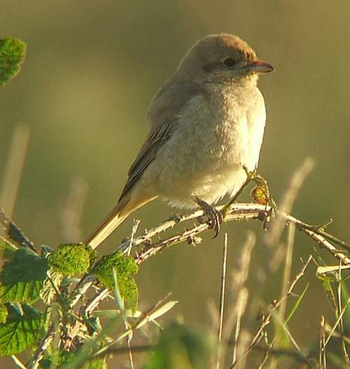 Indian birds - Photo of Isabelline shrike - Lanius isabellinus