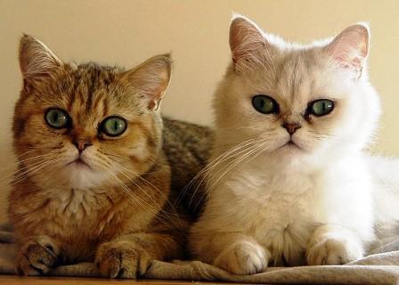 Mengenal Jenis Kucing Persia Exotic Dan Fakta Keunikannya Yoadit Com