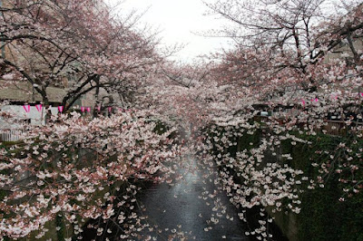 Beautiful Meguro River in Spring Japan