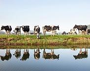 Koeien zijn een belangrijke producent van fosfaat. Bron: Nieuwsbericht Universiteit Utrecht