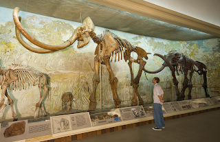 a man looks at fossils of prehistoric elephants at the Nebraska State Museum