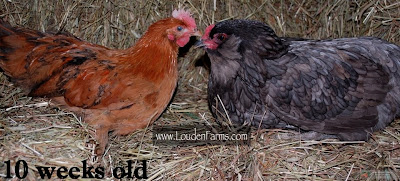 This chick is a cross between a Buff Orpington and a Black Copper Marans.