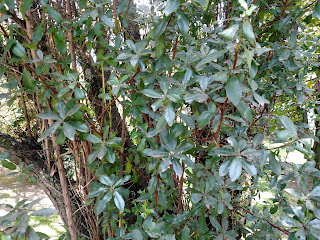 Chilco colorado – escallonia paniculata colombia andes tree arbol leaves bark