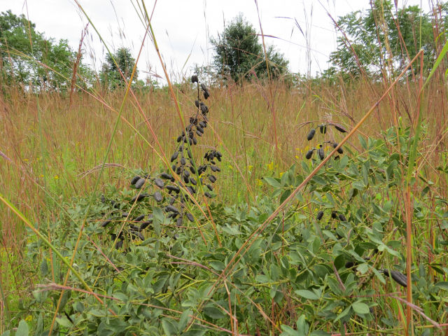 white false indigo