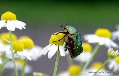 Insecte d'été la cétoine dorée