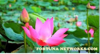 "<img src=""fortunanetworks.com.jpg"" alt=""Inilah Manfaat Teratai, Cantik Bunganya Cantik Pula Profitnya"">"