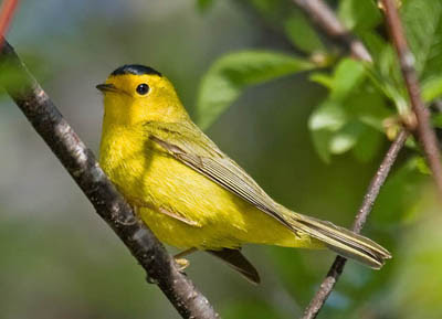 Photo of Wilson's Warbler on branch