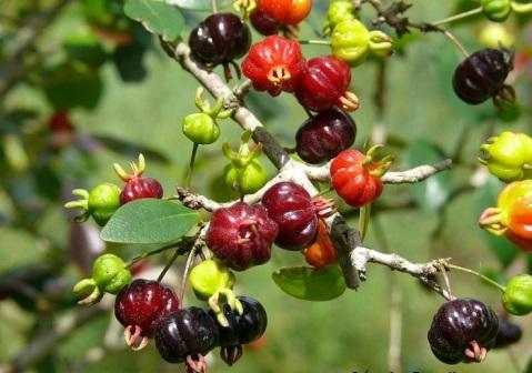 """Pitangueira, a nossa árvore """"tipo exportação"""""""
